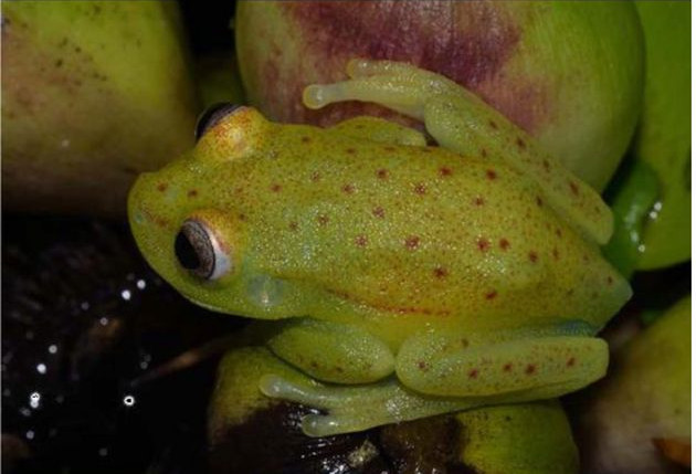 2018 05 fluo phospho tree frog 0