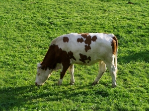 lait white brown cattle 959486 pixabay
